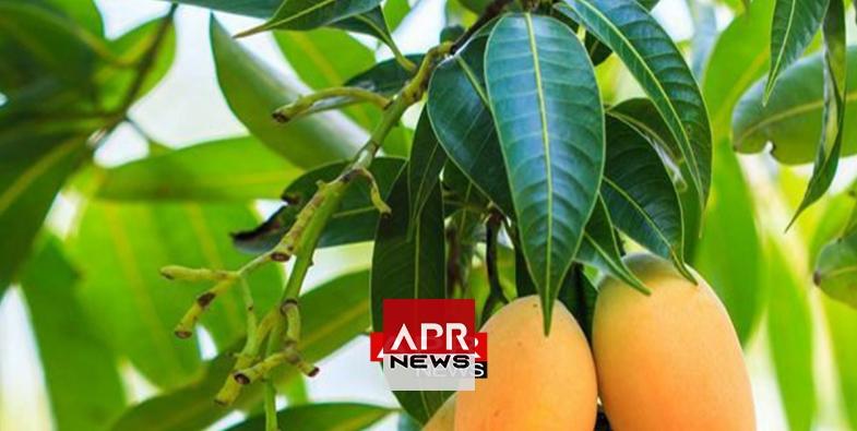 7 propri t s m dicinales des feuilles de mangue que vous. Black Bedroom Furniture Sets. Home Design Ideas